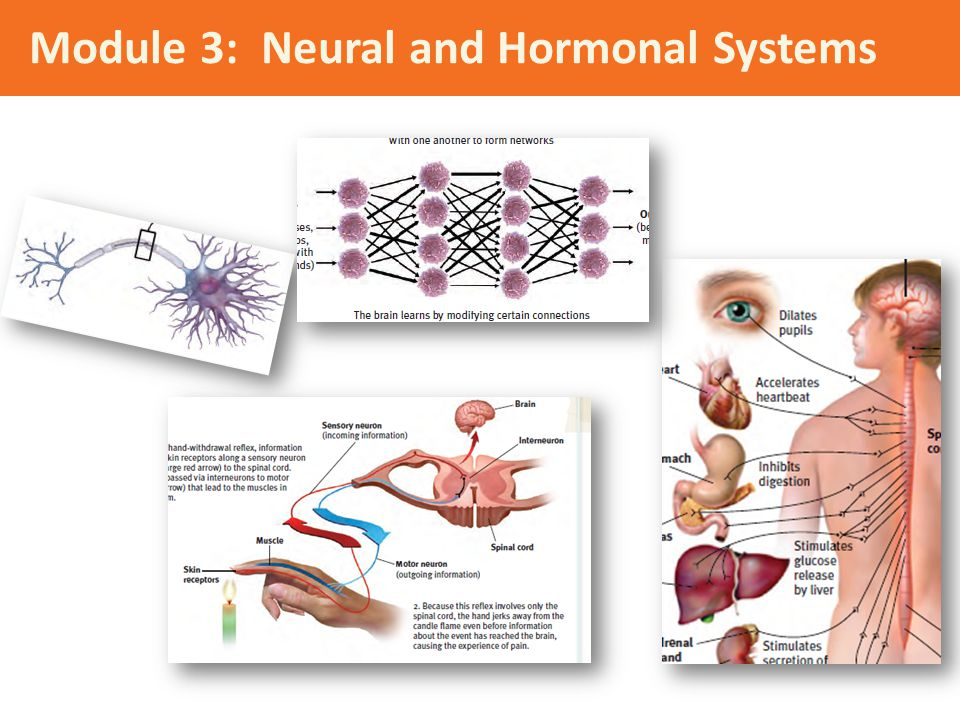 Module 3: Neural and Hormonal Systems