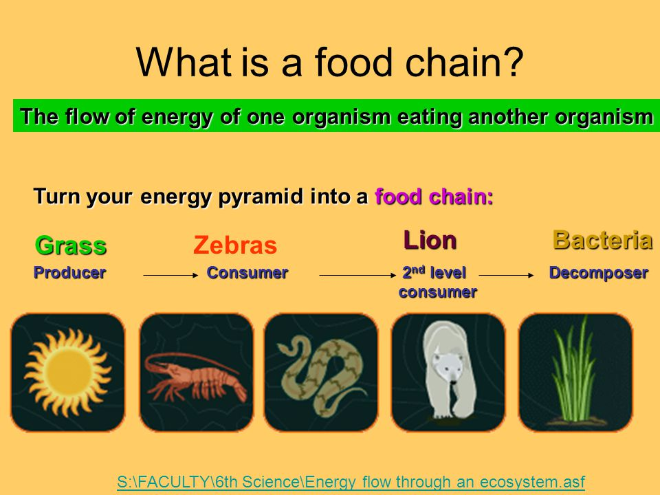 What is a food chain Lion Bacteria Grass Zebras