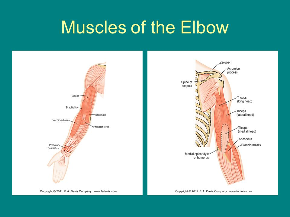 The Elbow And Forearm Complex Ppt Video Online Download