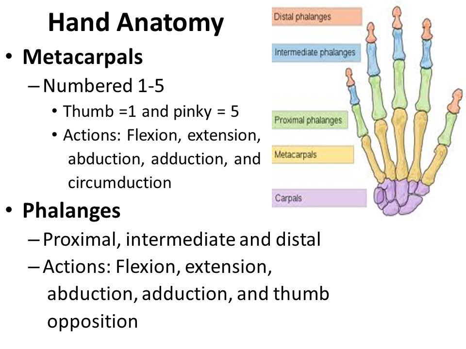 Metacarpals shown in red Left hand anterior palmar view The five metacarpal bones numbered Left hand anterior palmar view Details Origins Carpal bones of