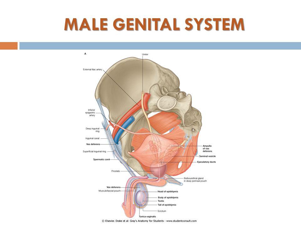 Development Of Male Genital System Ppt Video Online Download