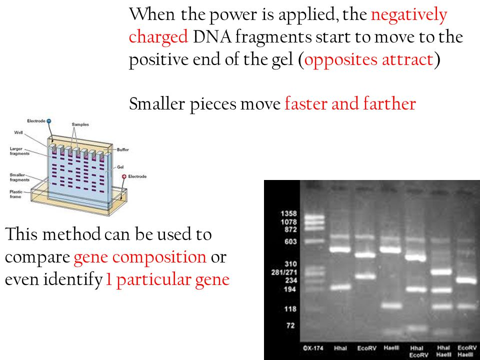 When the power is applied, the negatively charged DNA fragments start to move to the positive end of the gel (opposites attract)