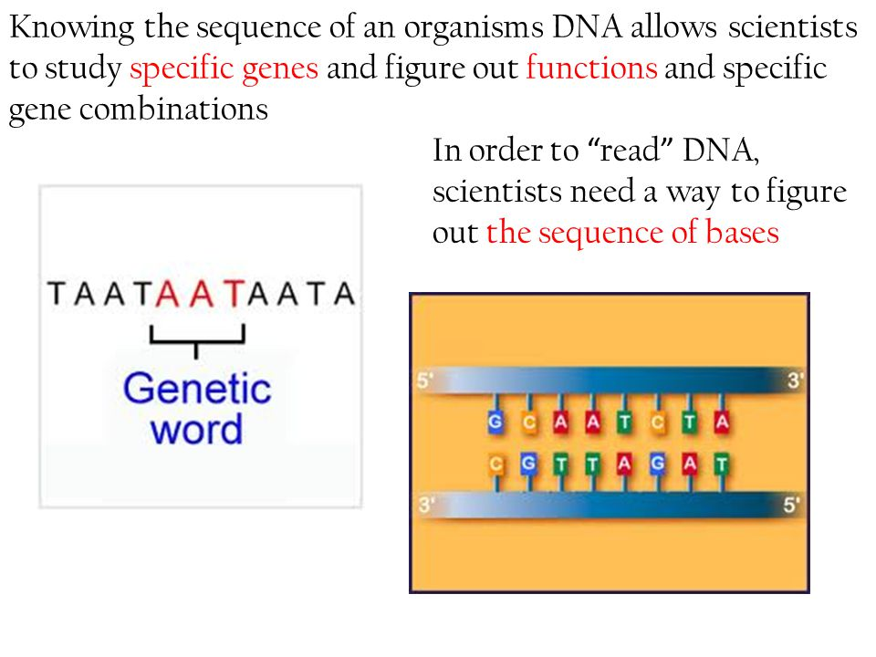 Knowing the sequence of an organisms DNA allows scientists to study specific genes and figure out functions and specific gene combinations
