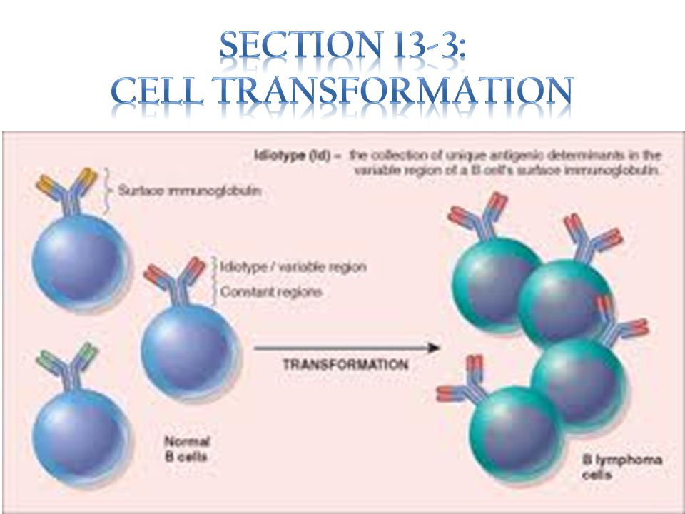 Section 13-3: Cell Transformation