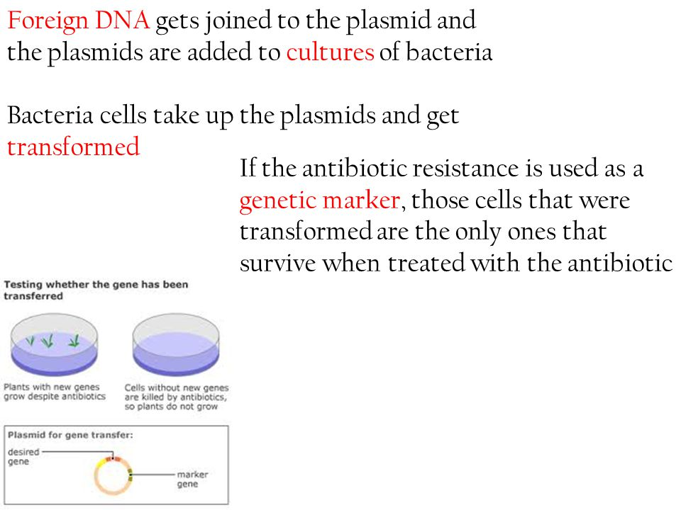 Foreign DNA gets joined to the plasmid and the plasmids are added to cultures of bacteria