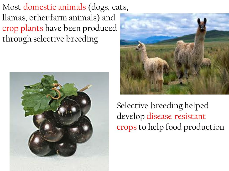 Most domestic animals (dogs, cats, llamas, other farm animals) and crop plants have been produced through selective breeding