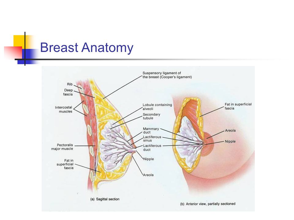 THE BREAST. - ppt video online download