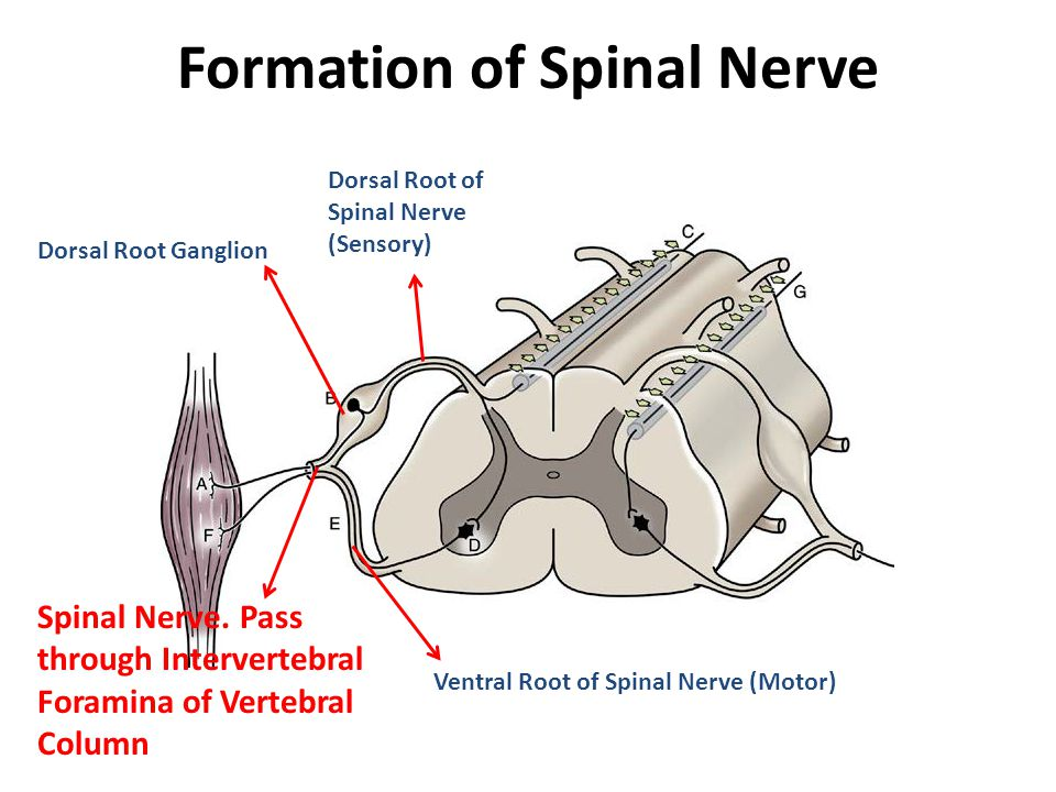 Division Of Spinal Cord And Spinal Nerve Ppt Video Online Download
