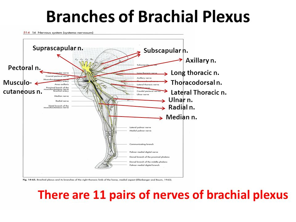 Division of Spinal Cord and Spinal Nerve - ppt video online download