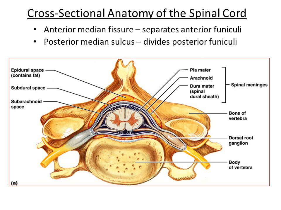 The Spinal Cord, Spinal Nerves, and Spinal Reflexes - ppt video ...