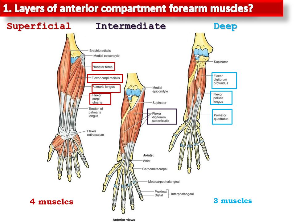 Anterior Aspect Of The Forearm Ppt Video Online Download