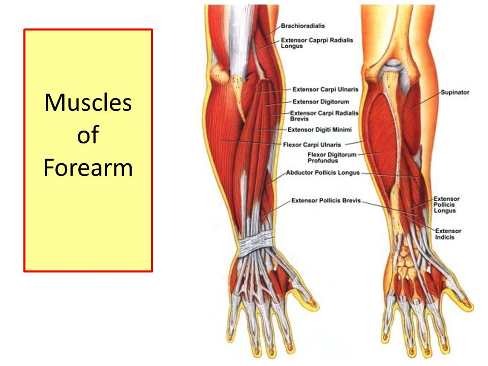 Muscles Of Anterior Compartment Of Forearm Ppt Video Online Download