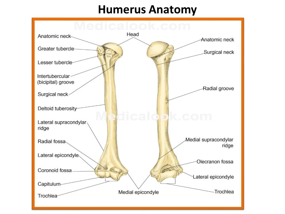 humerus and femur relationship counseling
