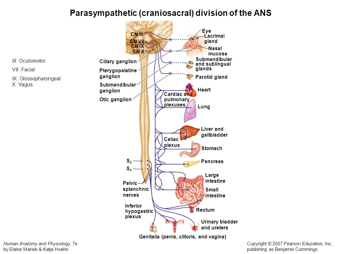 Peripheral Nervous System - ppt video online download