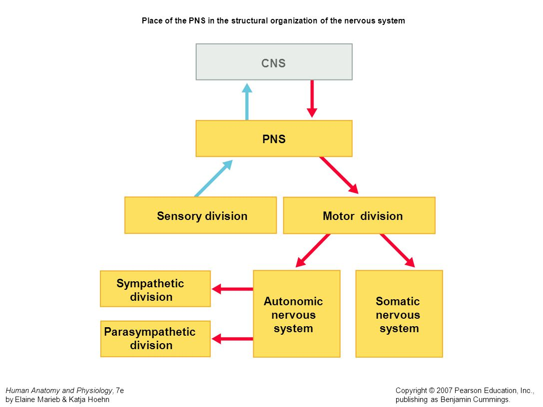Peripheral nervous system ppt video online download place of the pns in the structural organization of the nervous system ccuart Gallery