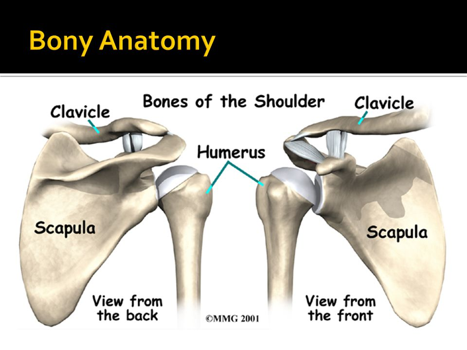 the anatomy of the shoulder and The anatomy of the human shoulder is complex, flaunting maximum mobility and a wide range of motion options the shoulder is the prime executor of hand positions and.