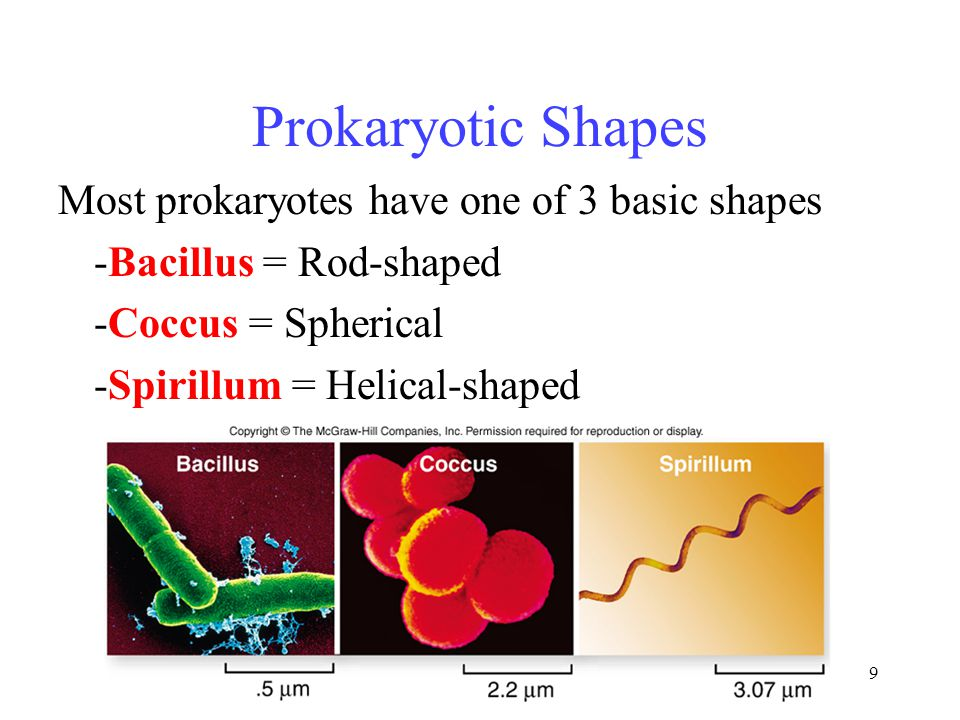 Three Basic Shapes Of Prokaryotes Diagram Wiring Diagram For Light