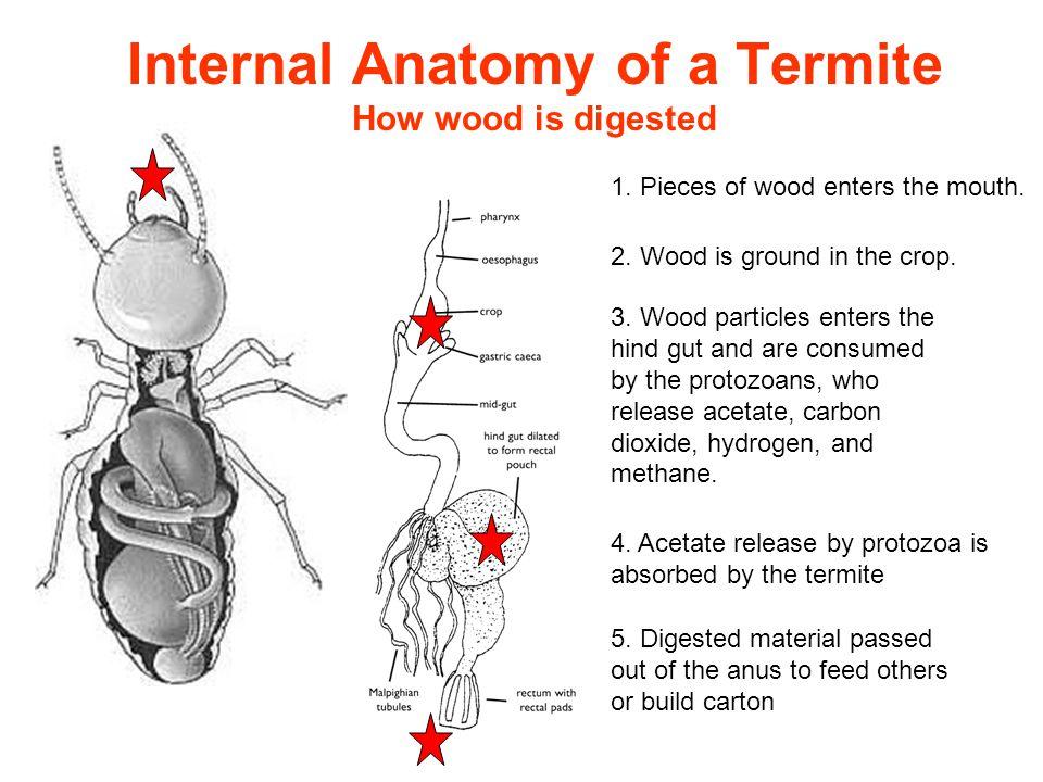 Formosan Subterranean Termite Communication - ppt video online download