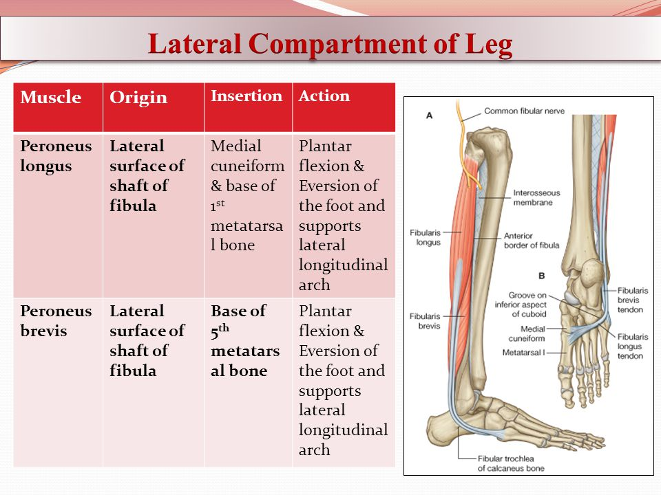 Anterior, Lateral Compartments of the Leg & Dorsum of the Foot - ppt ...