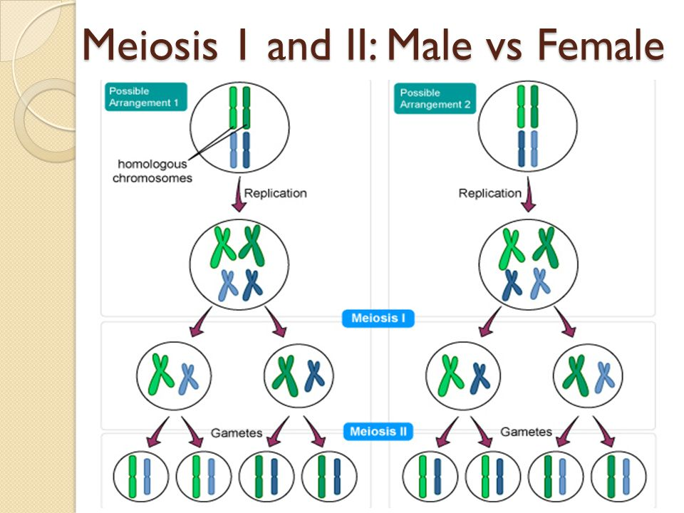 Meiosis Chapter 4 3 Guided Notes Ppt Download