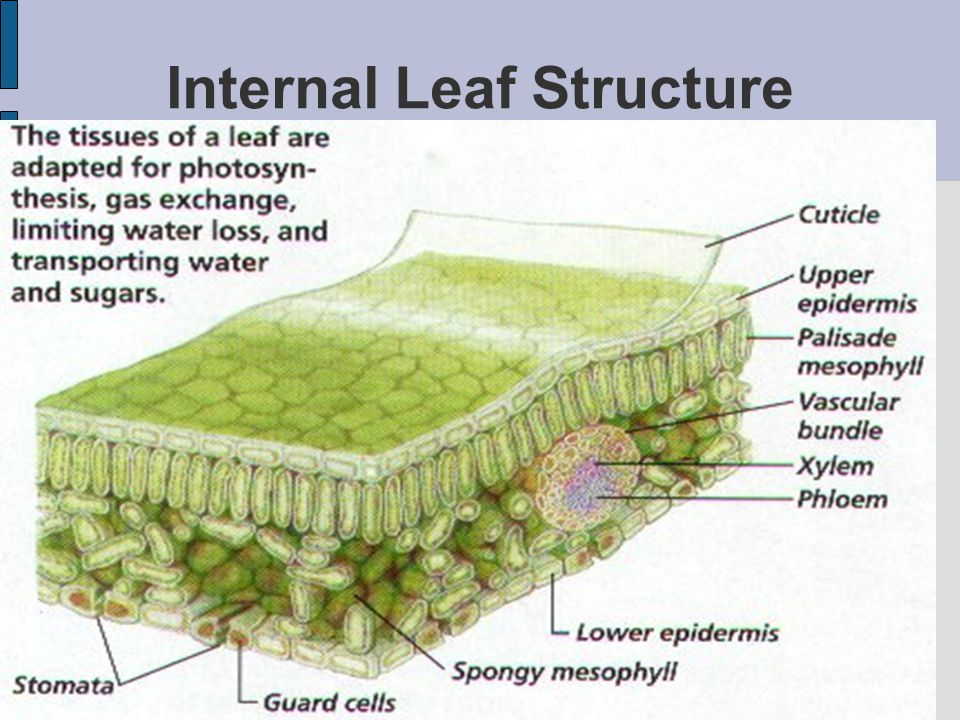 Parts Of The Plant Leaves Ppt Video Online Download