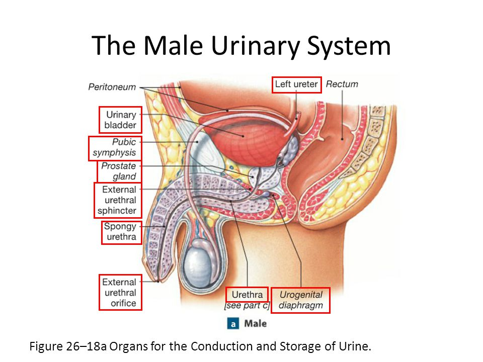 The Urinary System Chapter ppt download