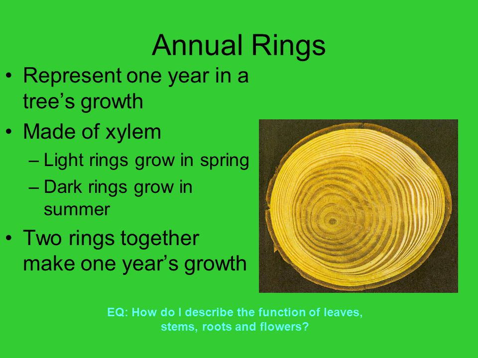 Annual Rings Represent one year in a tree's growth Made of xylem