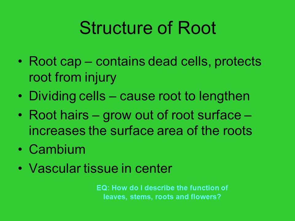 Structure of Root Root cap – contains dead cells, protects root from injury. Dividing cells – cause root to lengthen.