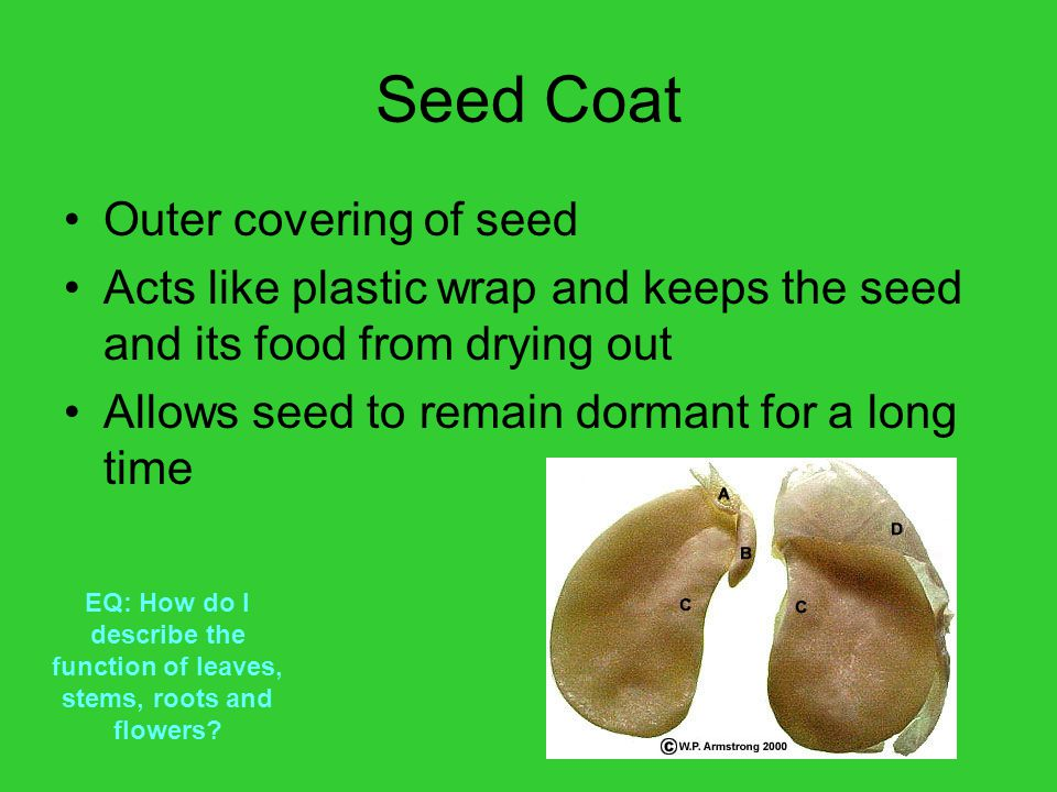 Seed Coat Outer covering of seed