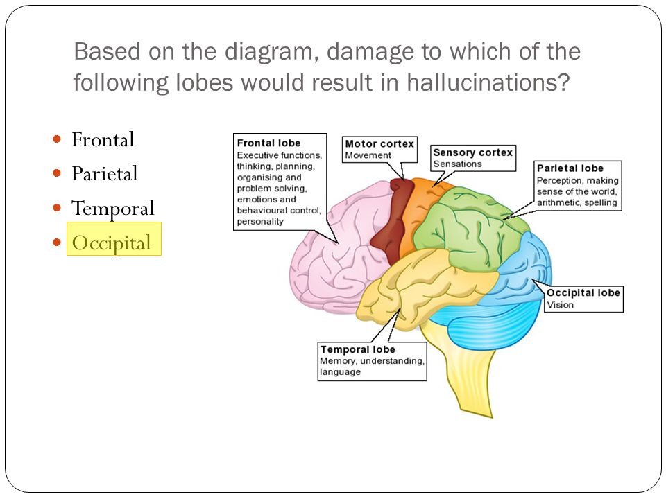 Based on the diagram, damage to which of the following lobes would result in hallucinations
