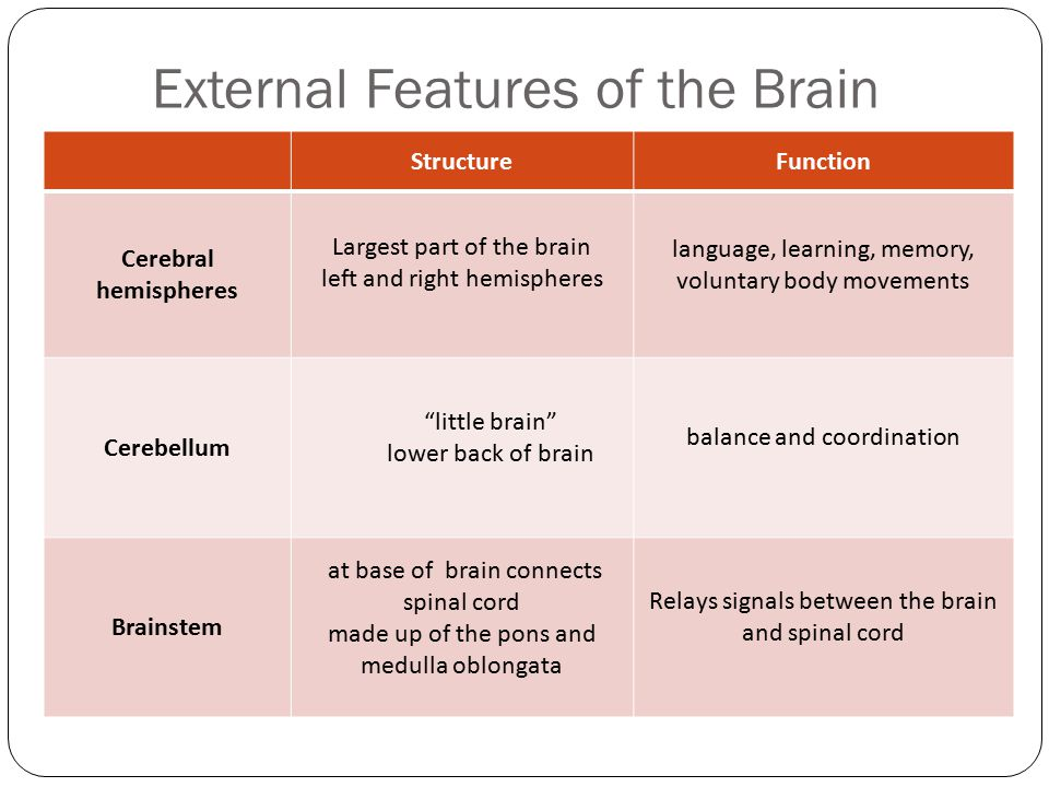 External Features of the Brain