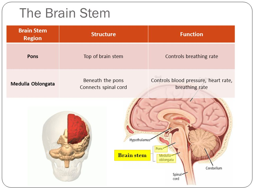 The Brain Stem Brain Stem Region Structure Function Brain stem Pons