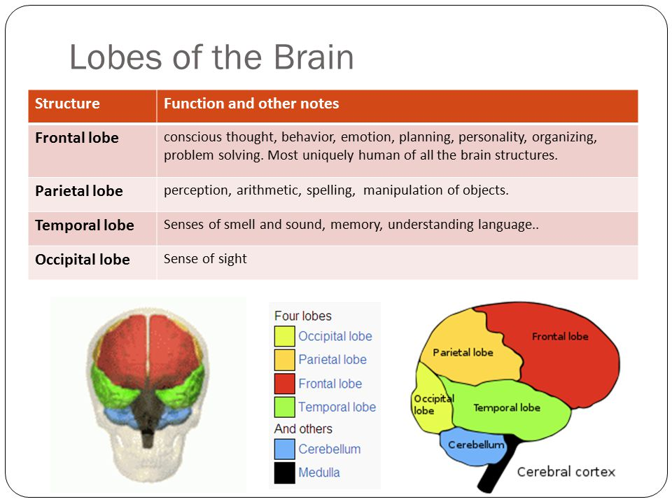 Lobes of the Brain Structure Function and other notes Frontal lobe