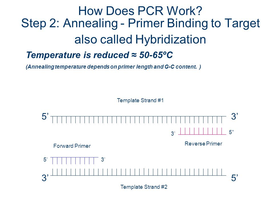 How Does PCR Work Step 2: Annealing - Primer Binding to Target also called Hybridization