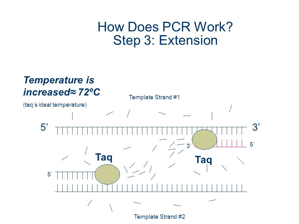 How Does PCR Work Step 3: Extension