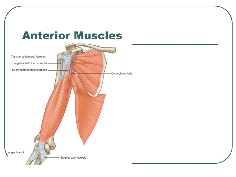 Arm, Elbow, Forearm. - ppt video online download