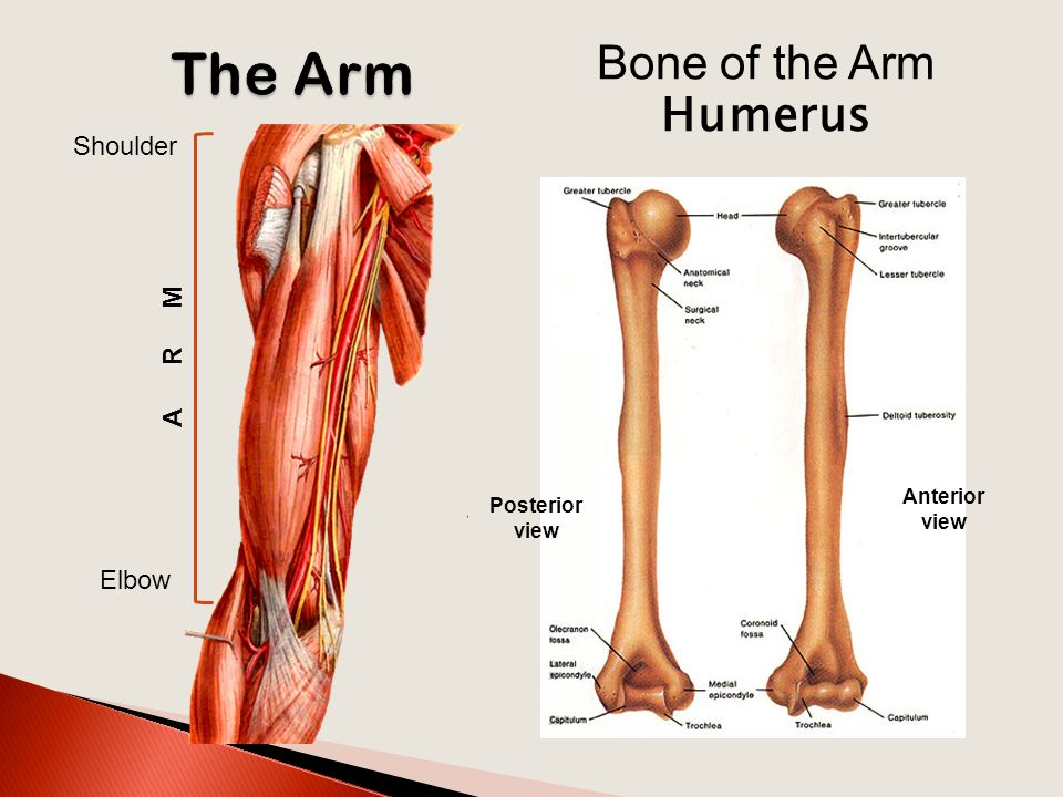 Arm, Cubital Fossa & Elbow Joint - ppt video online download