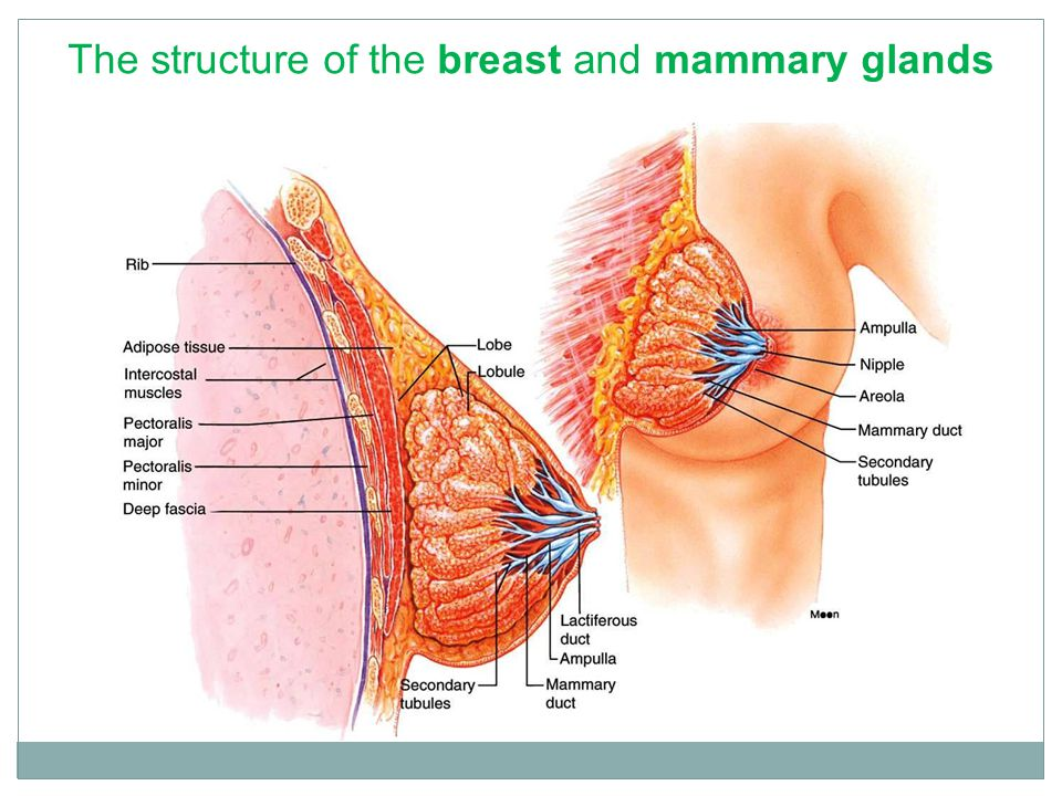 Reproductive Physiology Lecture 8 Hormones affecting female breast ...