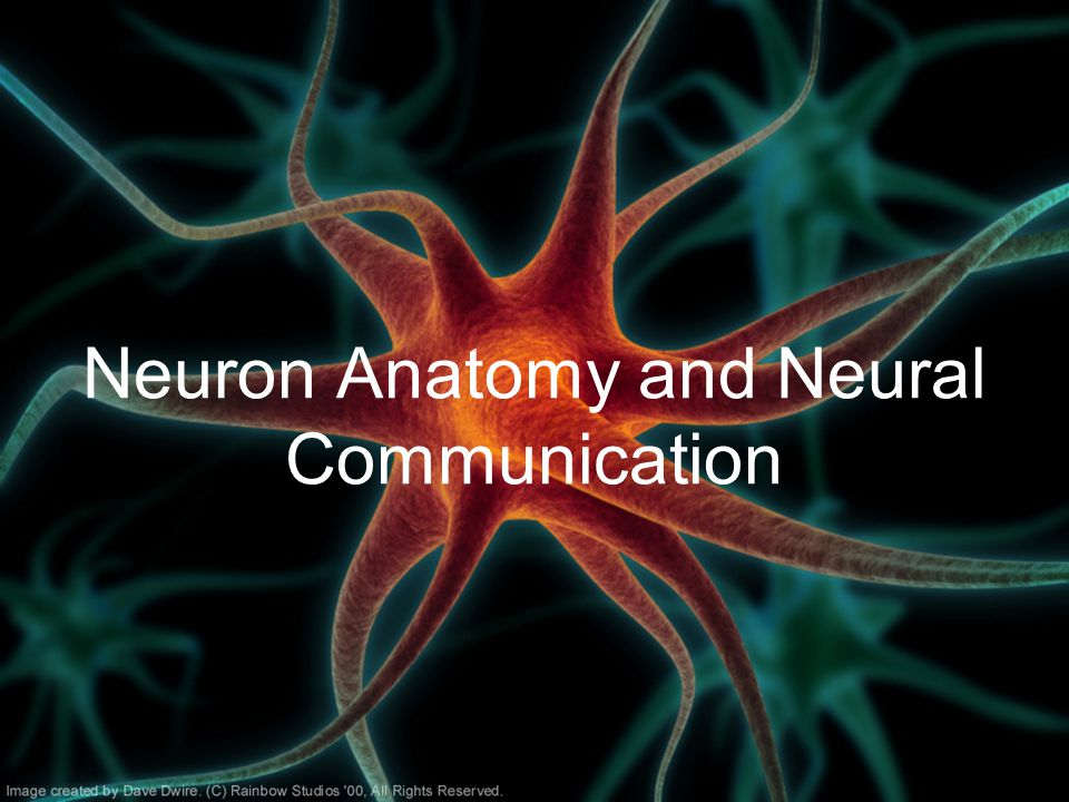 Neuron Anatomy and Neural Communication