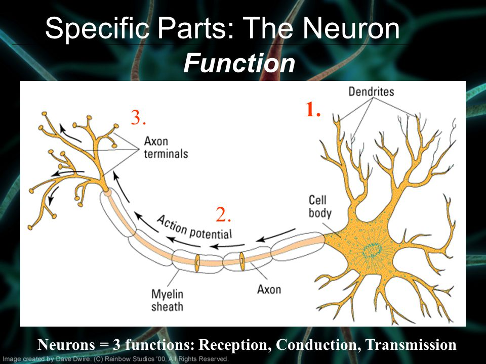 Specific Parts: The Neuron Function