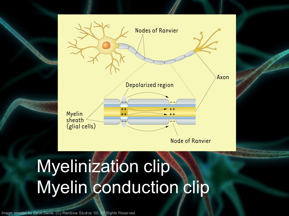 Myelinization clip Myelin conduction clip