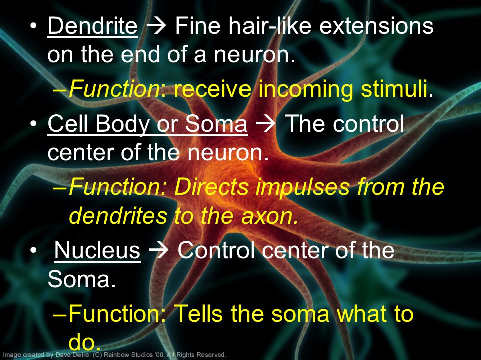Dendrite  Fine hair-like extensions on the end of a neuron.