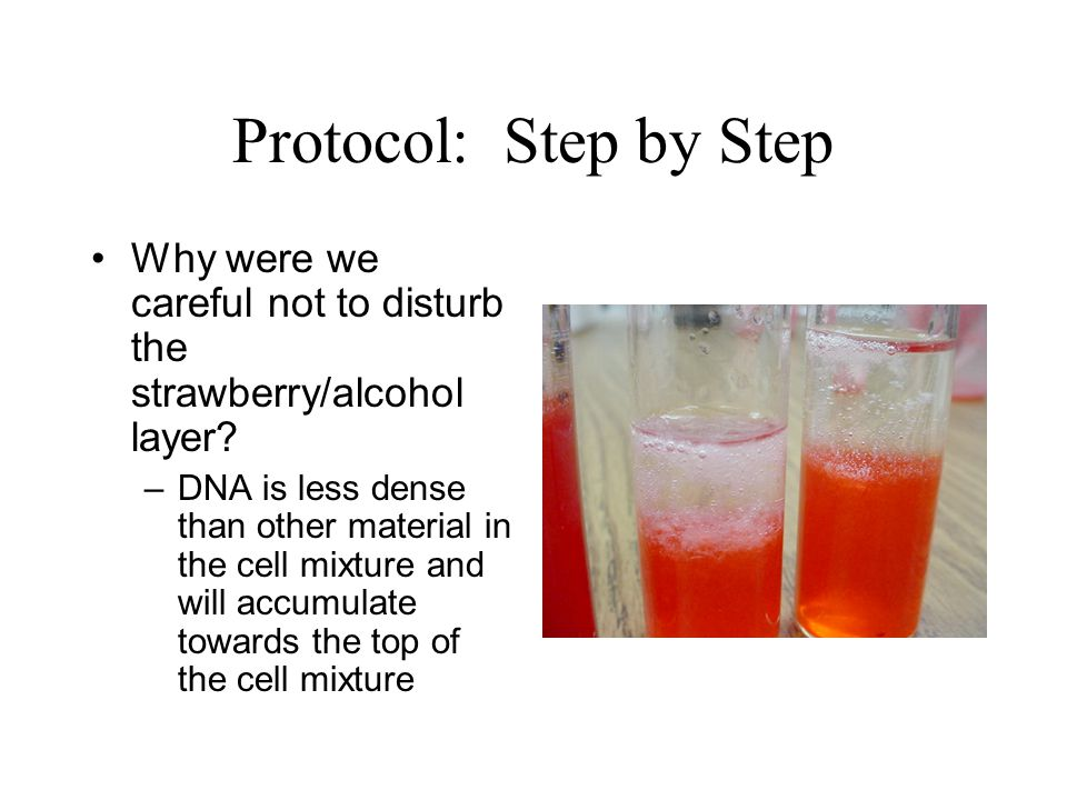 protocol step by step why were we careful not to disturb the strawberry alcohol