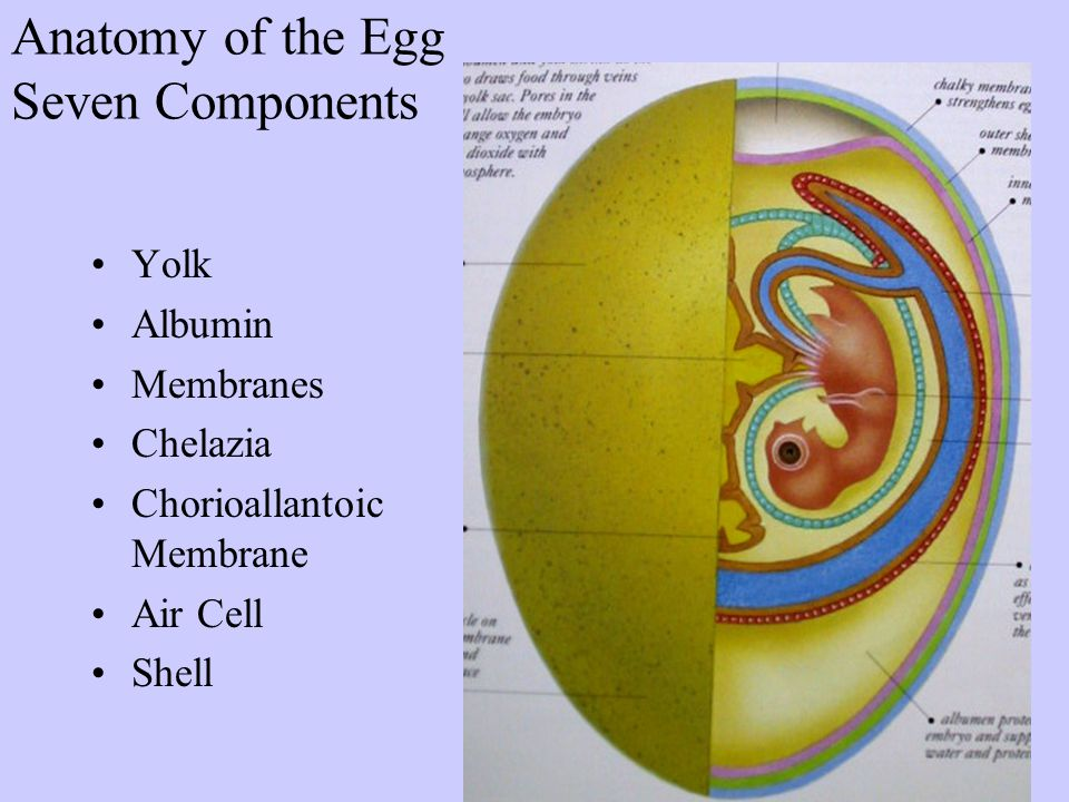 The Avian Egg Structure, Production, Function - ppt video online ...