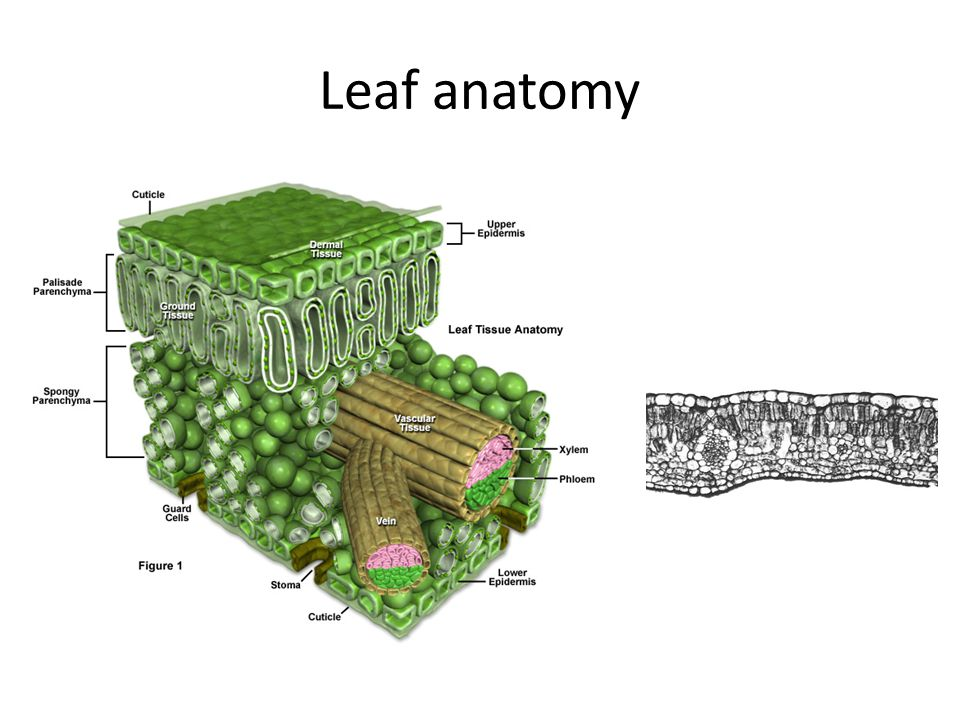 Plant Adaptations C3 And C4 Plants Ppt Video Online Download