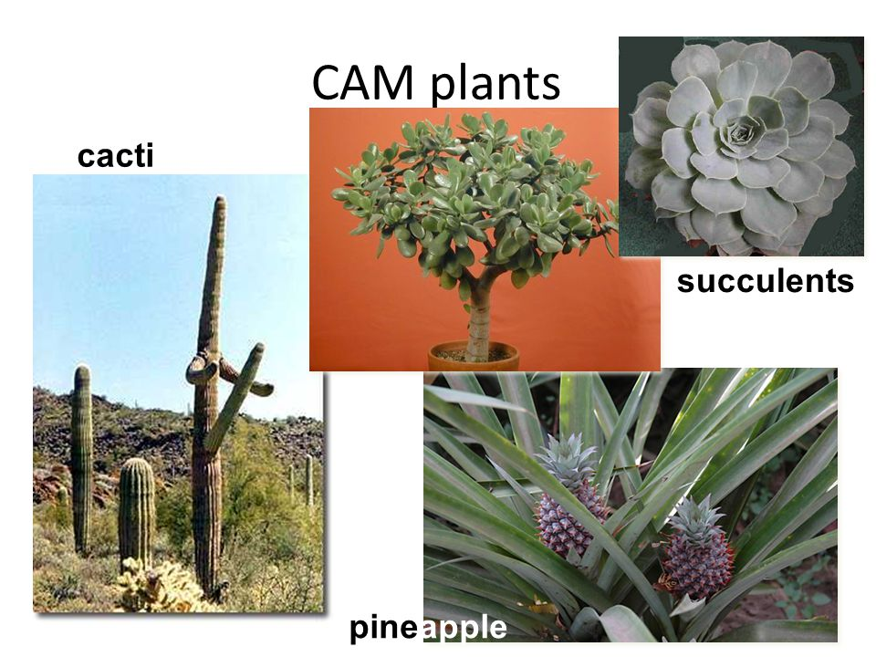 Plant Adaptations: C3 and C4 plants - ppt video online download