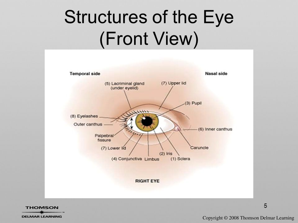 The Special Senses (Eye and Ear) - ppt video online download