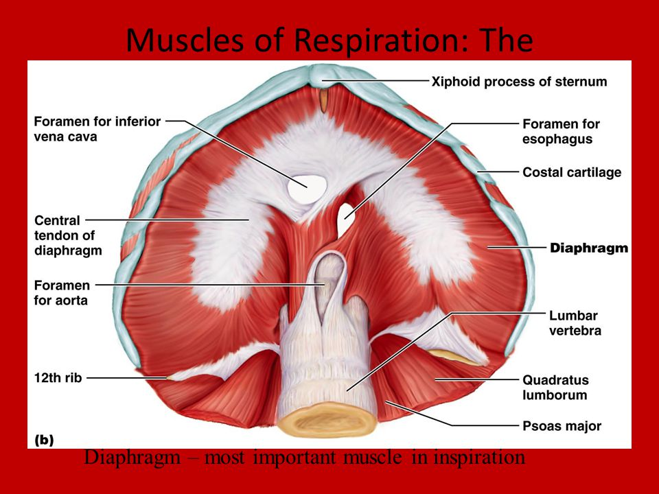 E. Muscles of the Trunk. - ppt video online download