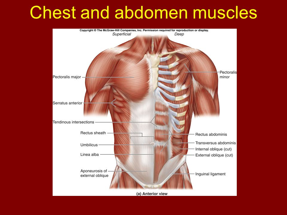Chapter 11 Axial Muscles of the body - ppt download