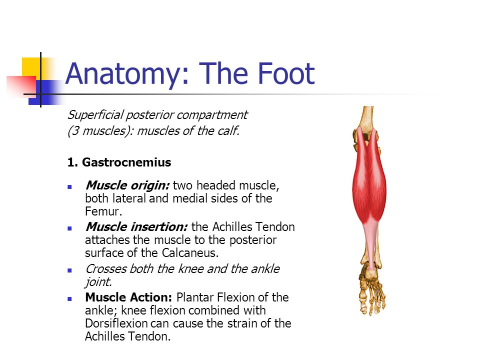 Anatomy: The Foot Superficial posterior compartment